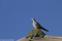 Tourterelle sur le toit