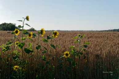 2017 06 16 Sortie photos OBJECTIF DURAS Lévignac vu du chemin des Chopres(16)_DxO_DxO6