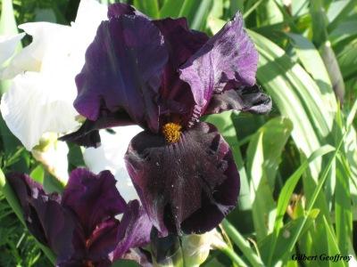 iris 2006 (20)
