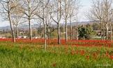 tulipa praecox beyssac (3)_DxO
