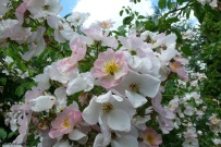 roses boissonat (141)