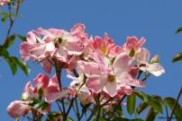 roses boissonat (170)