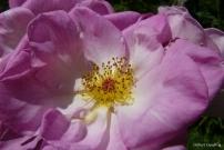 roses boissonat (220)