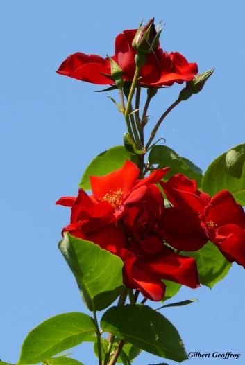 roses boissonat (366)